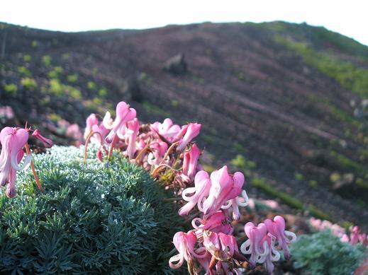 高山植物の女王コマクサ